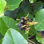 Kennedia nigricans - Australian Native Plant
