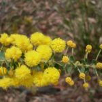 Acacia uncinata - Australian Native Plant