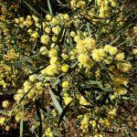 Acacia verniciflua - Australian Native Plant