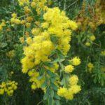 Acacia vestita - Australian Native Plant