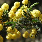 Acacia nigricans - Australian Native Plant