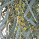 Acacia pendula - Australian Native Plant