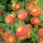 Chrysanthemum Copper Buttons - Perennial Plant