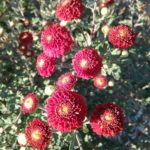 Chrysanthemum Red Buttons - Perennial Plant