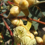 Eucalyptus kessellii - Australian Native Tree
