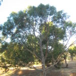 Eucalyptus yangoura - Australian Native Tree