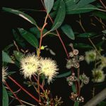 Eucalyptus pumila - Australian Native Tree