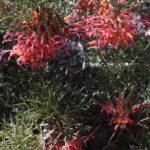 Grevillea maxwelli - Australian Native Plant