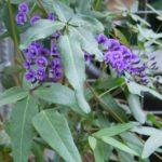 Hardenbergia comptoniana - Australian Native Climber