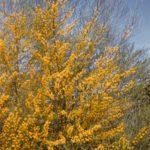 Acacia gracilifolia - Australian Native Plant