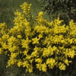 Acacia myrtifolia - Australian Native Plant