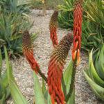 Aloe reitzii