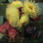 Eucalyptus pachyphylla - Australian Native Plants