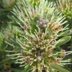 Hakea corymbosa - Australian Native Plant