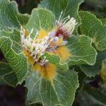 Hakea victoria - Australian Native Plant