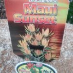 Leucadendron Maui Sunset label
