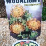 Leucospermum Moonlight label