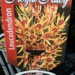 Leucadendron Roayl Ruby Label