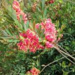 melaleuca fulgens ssp steedmanii - Australian Native Plant