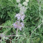 Salvia Bees Bliss - Perennial Plant