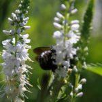 Veronica longifolia white - Perennial Plant