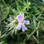 Westringia eremicola - Australian Native Plant