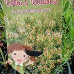 Leucadendron Bellas Buttons label