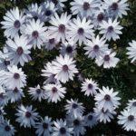 Osteospermum white variegated - Perennial Plant