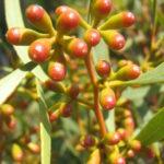 Eucalyptus discreta - Australian Native Tree