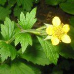 Geum urbanum - Perennial Plant