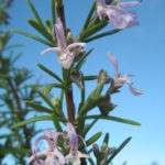 Rosemary Portugese Pink - Perennial Plant