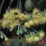 Eucalyptus sepulcralis - Australian Native Tree