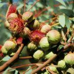 Eucalyptus youngiana x pyriformis - Australian Native Tree
