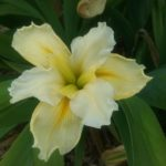 Iris louisiana Creme Freize
