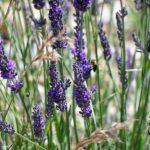 Lavender x heterophylla - Perennial Plant