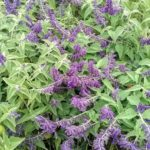Salvia Anthony Parker - Perennial Plant