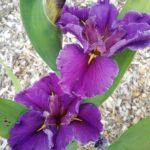 Water Iris louisiana NO 19