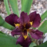 Water Iris louisiana NO 43