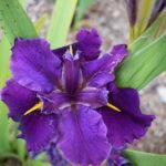 Water Iris louisiana No 55