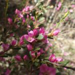 Boronia crenulata - Australian Native Plant