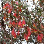 Eucalyptus forrestiana - Australian Native Tree
