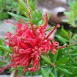 Grevillea juniperina prostrate red - Australian Native Plant