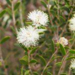 Melaleuca hnatiukii - Australian Native Plant