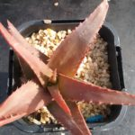 Aloe Sparkling Burgundy