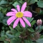 Brachyscome Hot Candy - Australian Native Plant