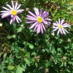 Brachyscome Pilliga Posy - Australian Native Plant