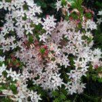 Calytrix tetragona - Australian Native Plant