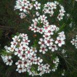Chamelaucium Meringuer Mist - Australian Native Plant