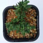 Crassula sarcocaulis ssp sarcocaulis