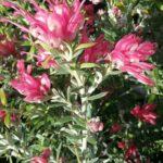 Grevillea lavandulacea Pinky Petite - Australian Native Plant